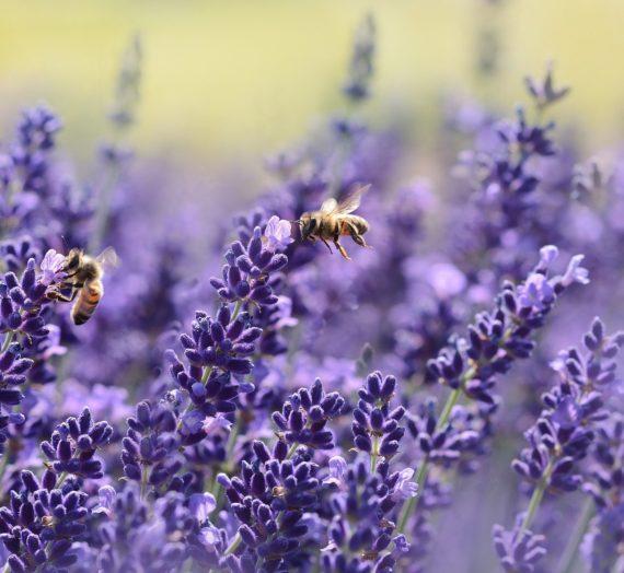 Offrir des plantes aux abeilles