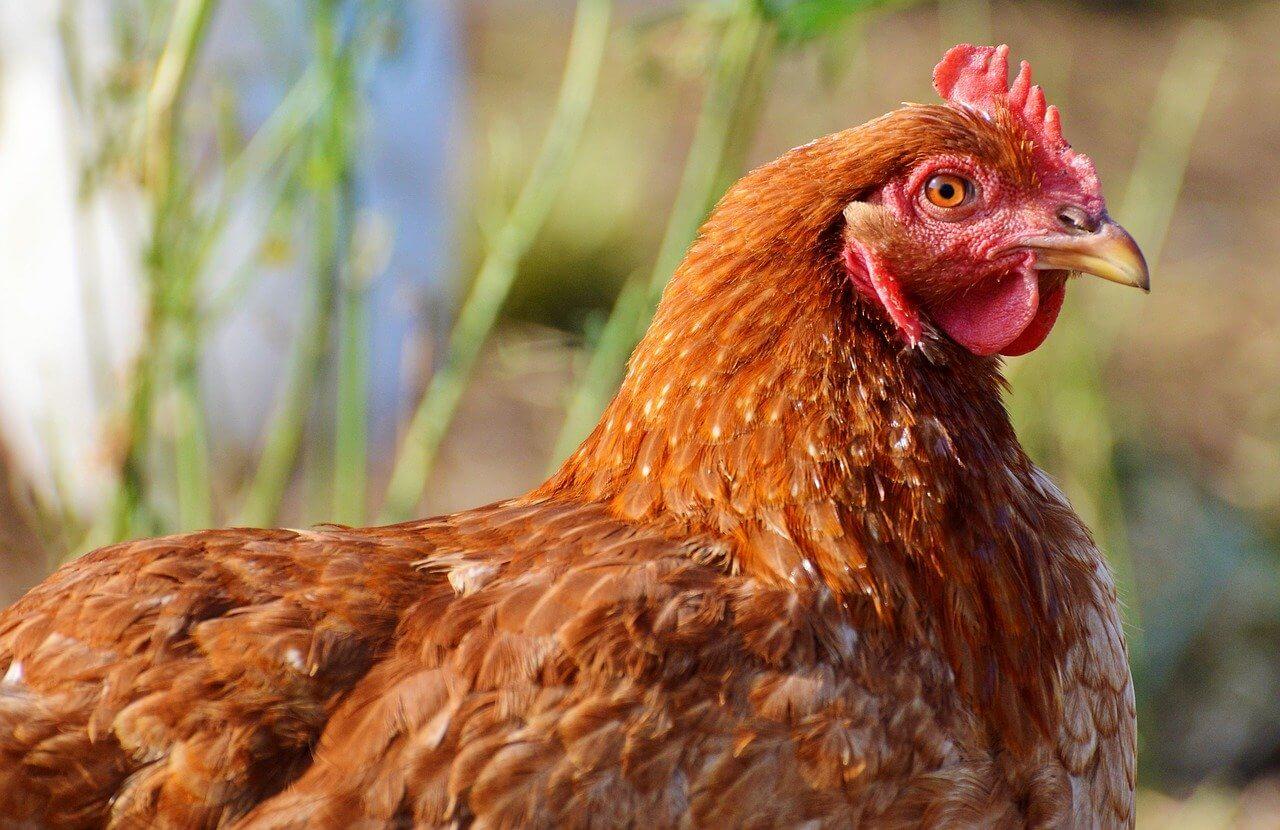 Acheter des œufs de poules élevées en plein air
