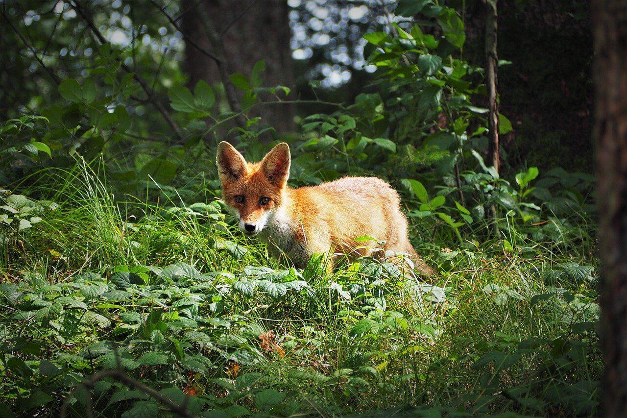 La vérité sur les renards